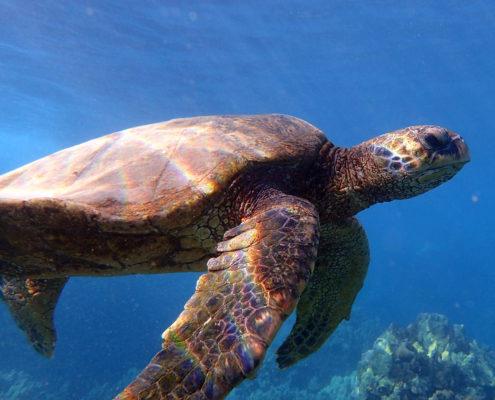 Makena Sea Turtle